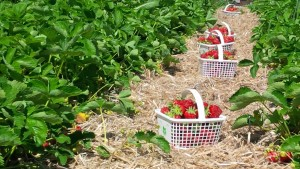 on the farm-strawberries